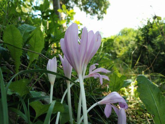 Colchico o despachapastores (Colchicum autumnale), un azafrán tóxico.